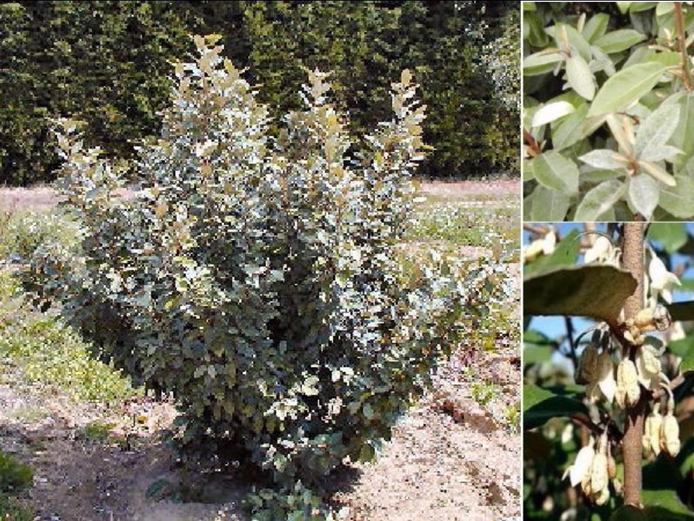 Haie de 15 arbustes fleuris vari s caducs et persistants - Arbuste fleurs blanches feuillage persistant ...