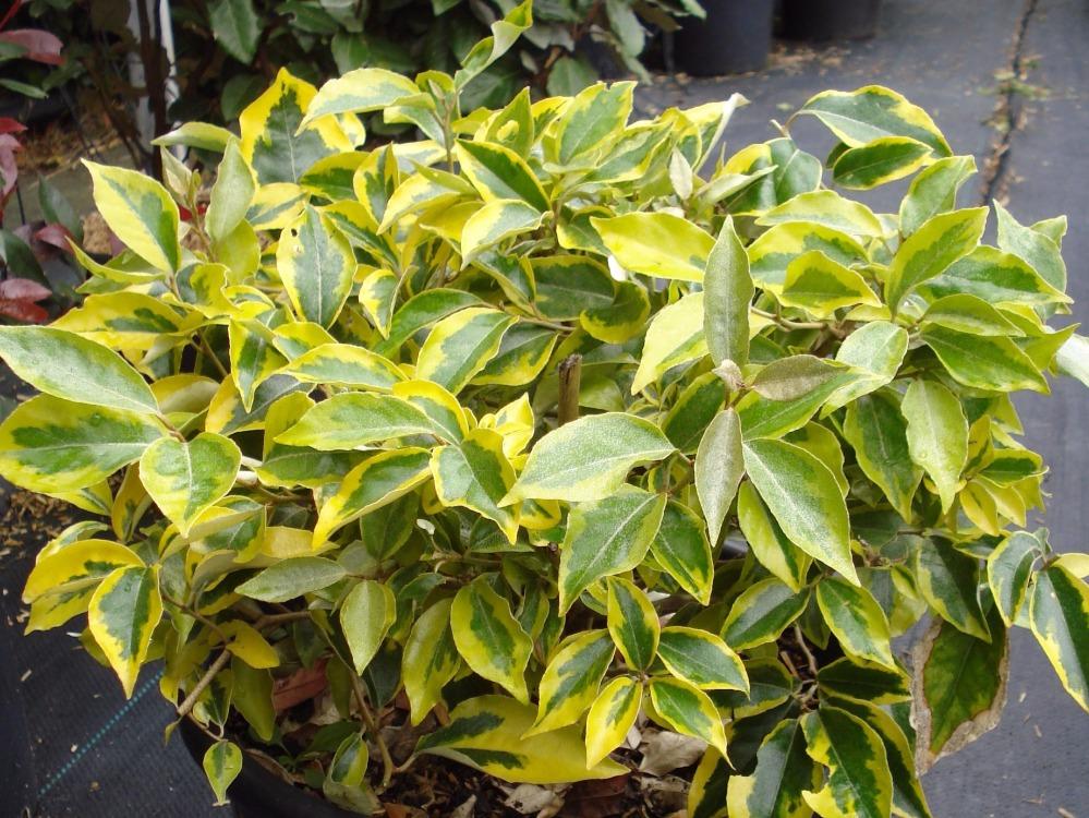 Haie de 15 arbustes persistants fermeture visuelle toute l 39 ann e - Feuilles jaunes laurier rose ...