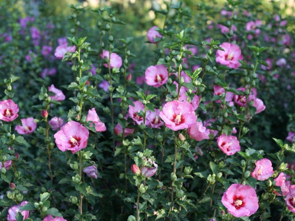 fleurs a planter en juillet aneth bte a fleurs juillet x garden box planter in pallet garden. Black Bedroom Furniture Sets. Home Design Ideas