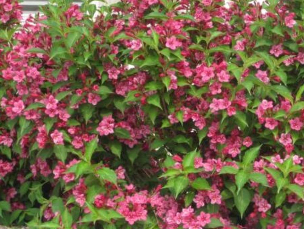Le Weigela \u0027Bristol Ruby\u0027 est un arbuste vigoureux. Grandes fleurs rouge  cramoisi en mai,juin. Feuillage vert se teintant d\u0027orange et de rouge en  automne.