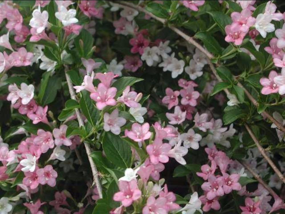arbuste fleurs clochettes roses id e d 39 image de fleur. Black Bedroom Furniture Sets. Home Design Ideas
